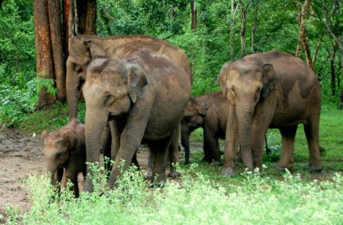 01 Rhyno and Elephant SafariElephants at Dooars