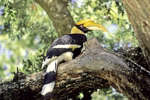 03 BirdWacthing Pied  hornbill
