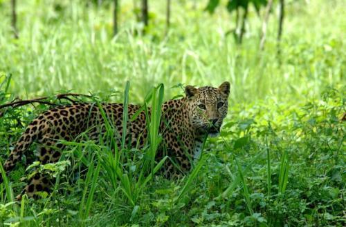 Slide 1 Leopard in NB