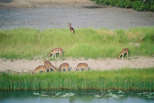 01 Cover spotted deer herd sundarban